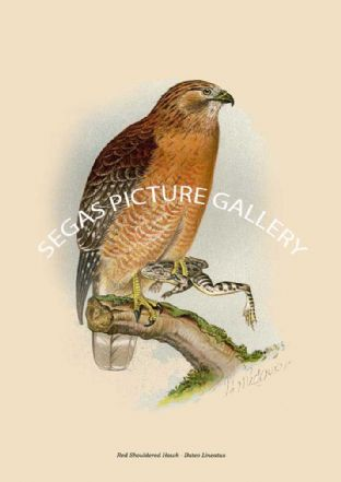 Red Shouldered Hawk - Buteo Lineatus